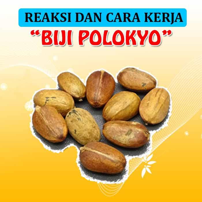 Biji Pohon Polokyo